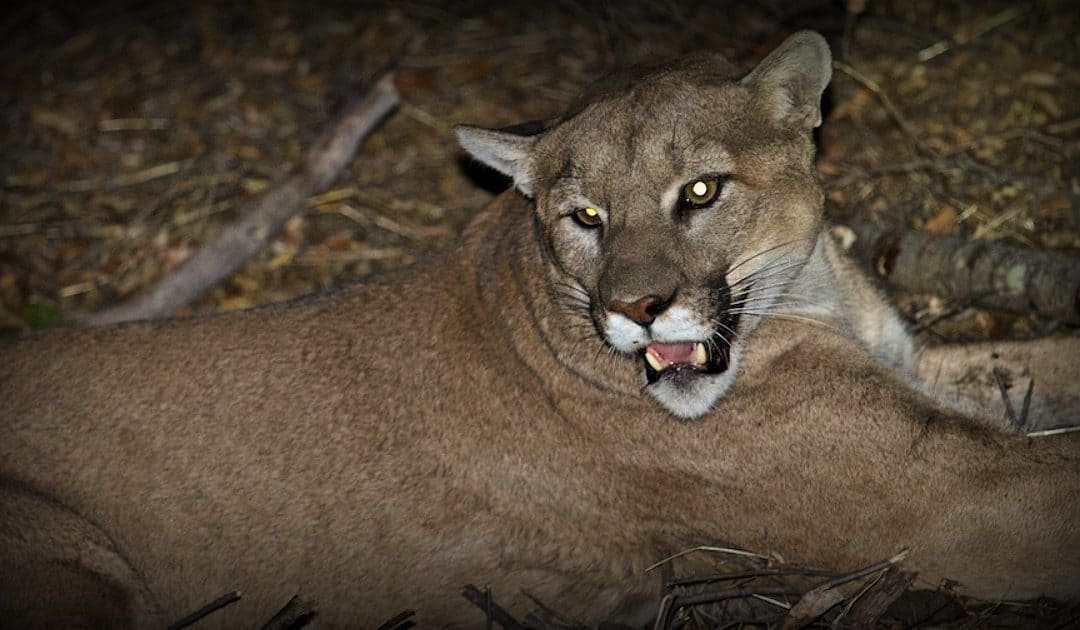 Malibu Rancher Won't Kill Mountain Lion P-45